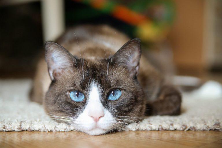 chat snowshoe couché sur le tapis
