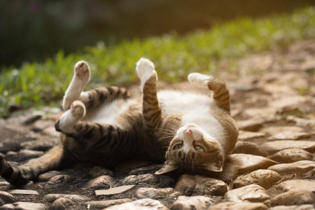 les chaleurs chez le chat