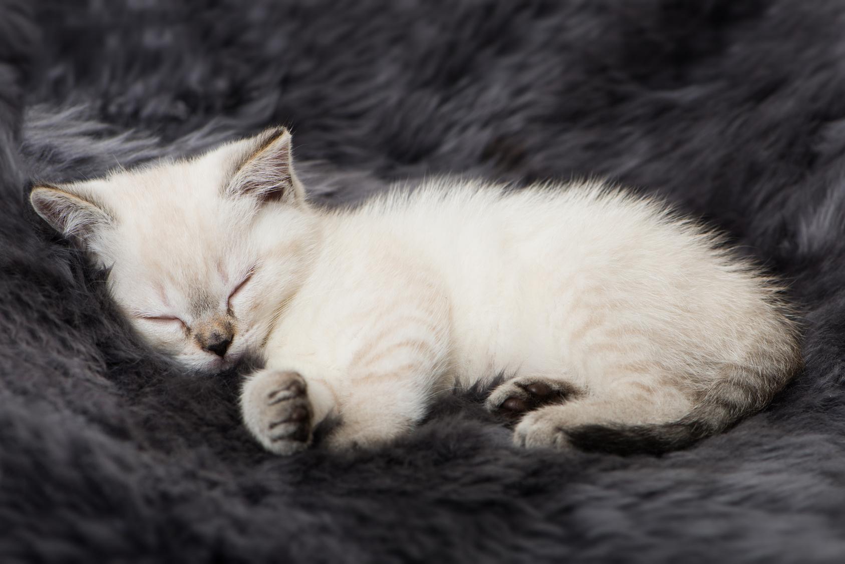 Chaton blanc endormi sur une couverture douce sombre