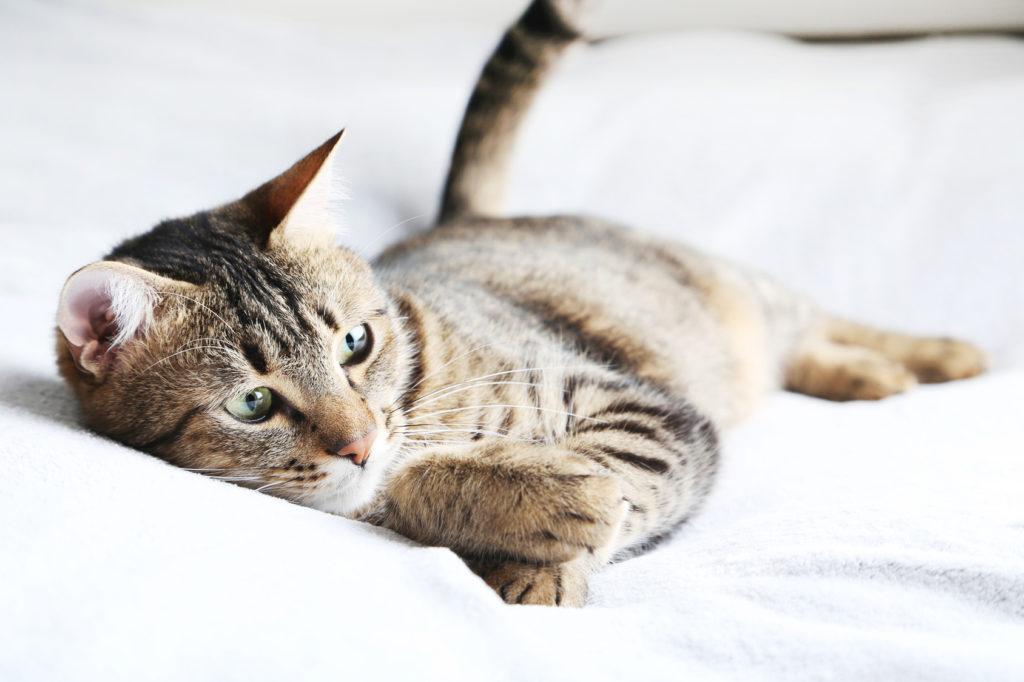 Vers chez le chat  comment les éviter et les traiter