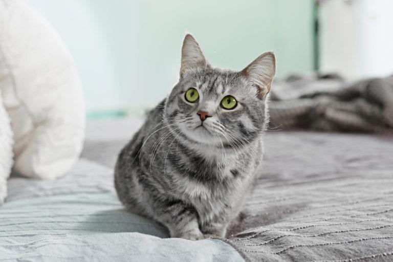 Chat gris assis sur un lit qui regarde vers le haut