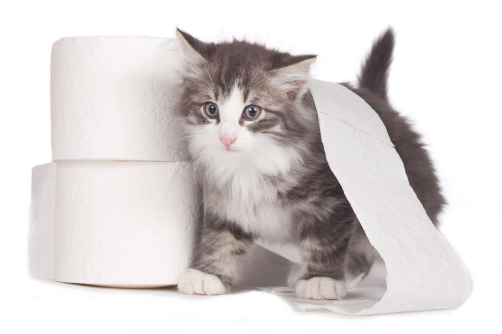 Chaton à côté de deux rouleaux de papier toilette, avec du papier toilette sur le dos