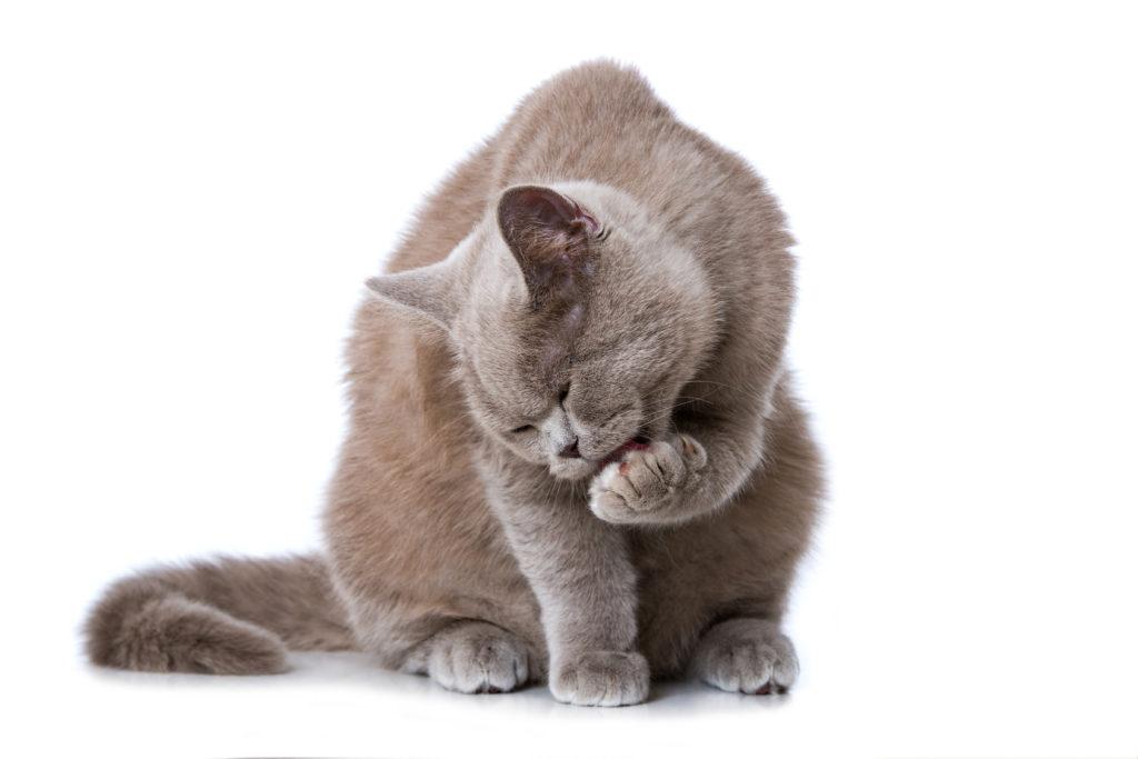 Chat qui se lèche la patte