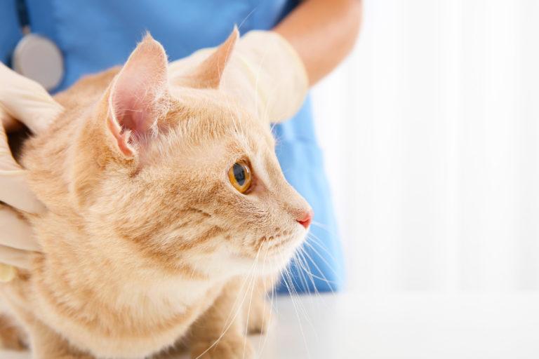 Chat red tabby chez le vétérinaire