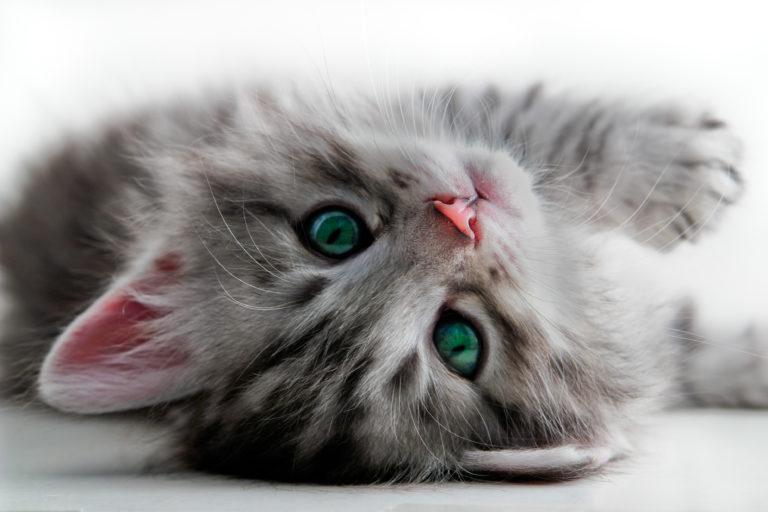 Portrait d'un chaton gris aux yeux verts allongé sur le dos