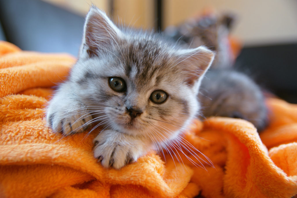 Portait de chaton gris couché sur une couverture orange