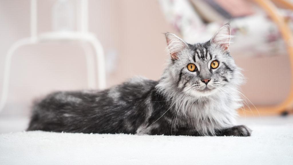 chat maine coon allongé sur un tapis blanc