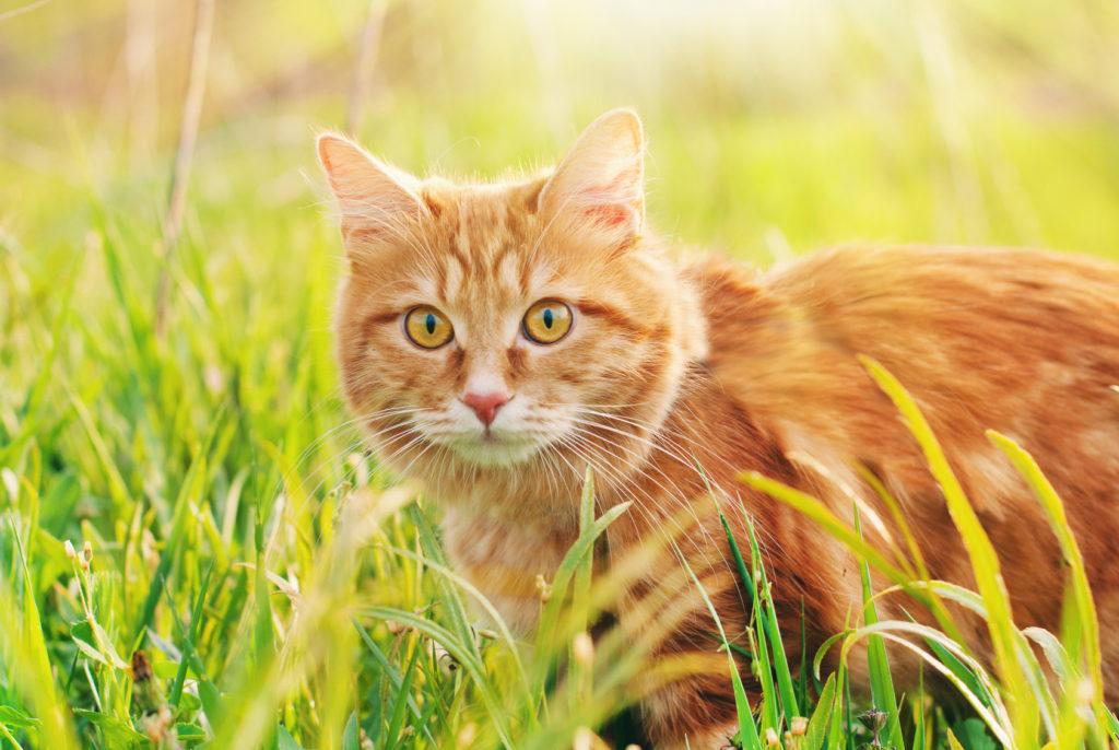 Chat roux dans les herbes hautes en été