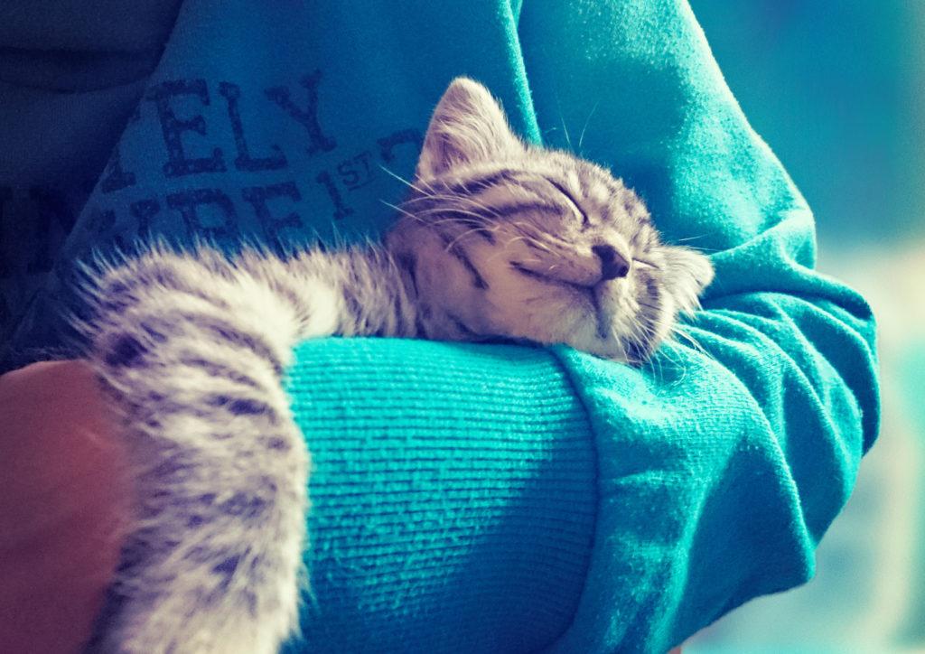 Chaton gris rayé endormi dans les bras de son maître