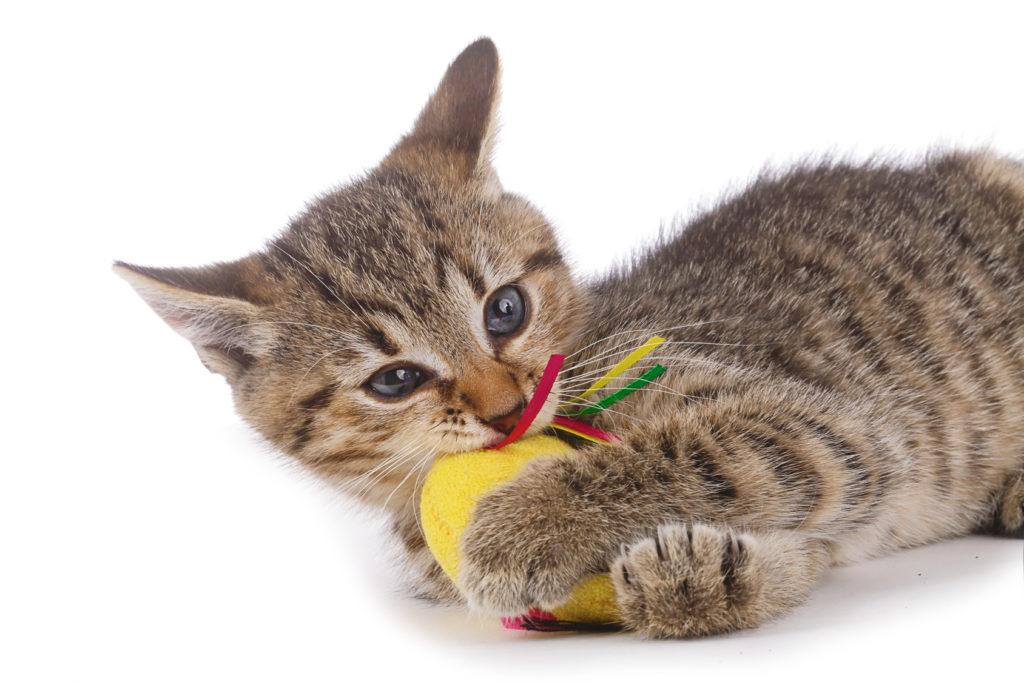chaton bringé qui joue avec une souris jaune