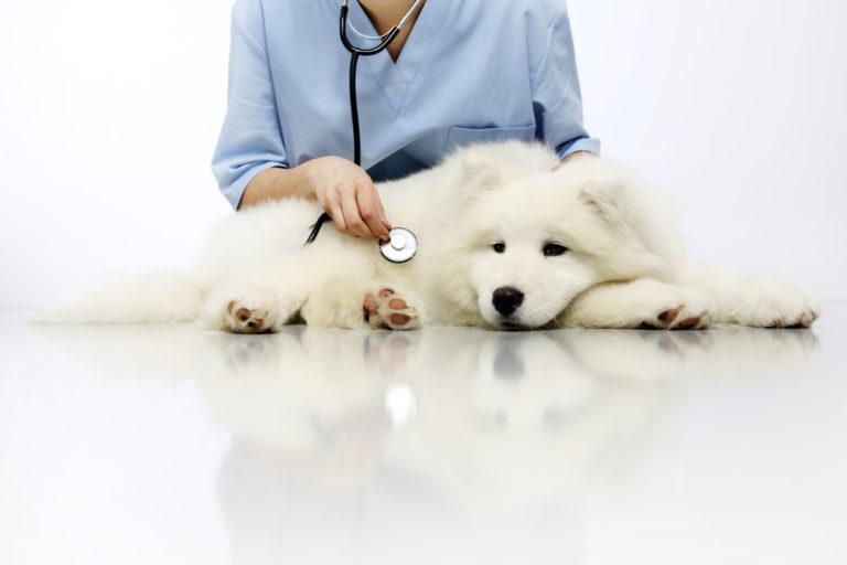 Vétérinaire en train d'écouter la poitrine d'un chien blanc au stétoscope