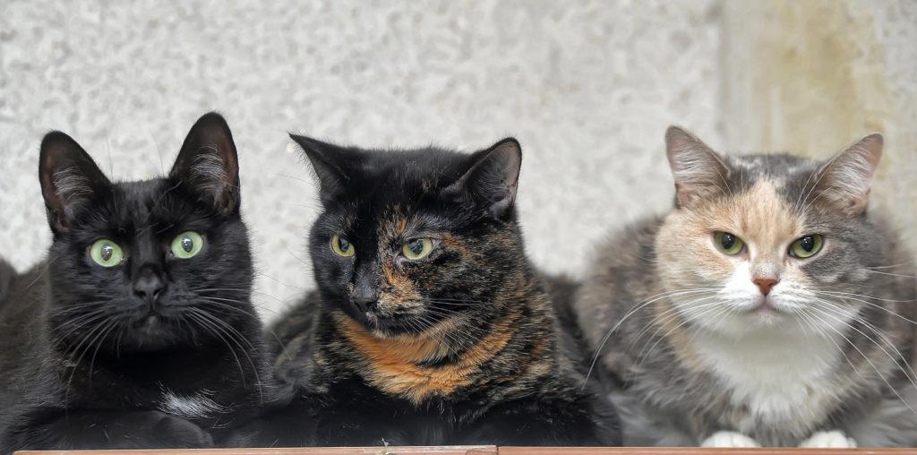 Un chat noir, un chat noir et roux et un chat gris, blanc et crème couchés les uns à côté des autres