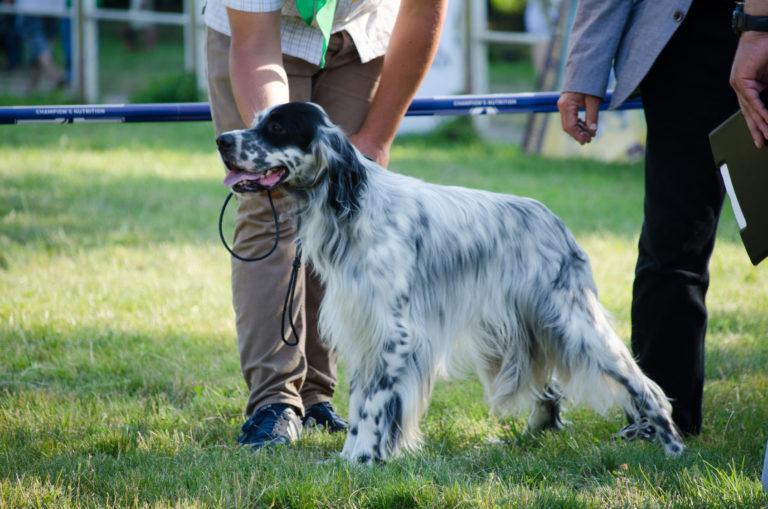 Setter anglais debout dans l'herde à un cours pour chiens