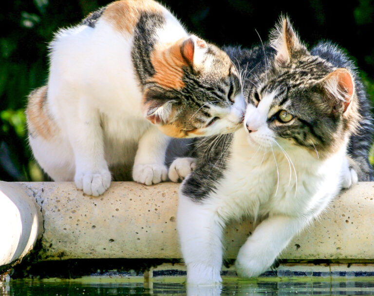 deux chats qui s'aiment