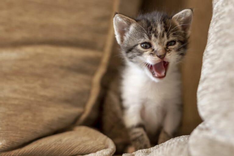 chat miaule la nuit