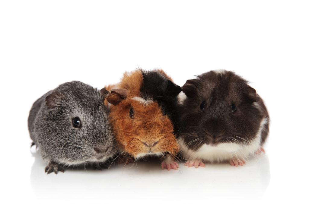 Portrait de trois cochons d'Inde, un gris, un roux et un noir, sur un fond blanc