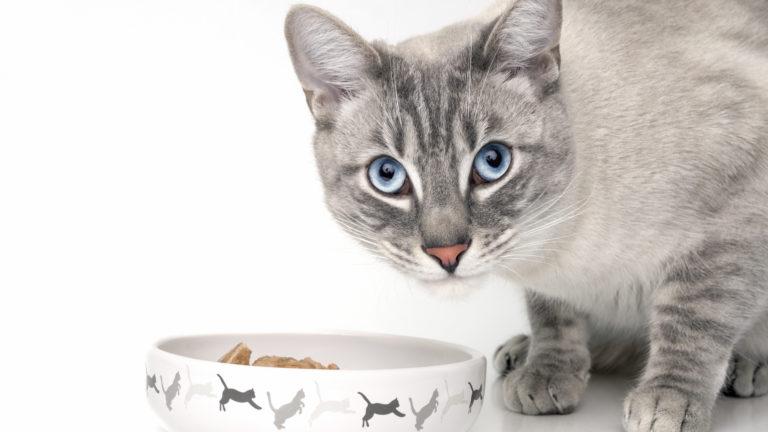 Chat gris adulte pencher au-dessus de sa gamelle de nourriture humide pour chat
