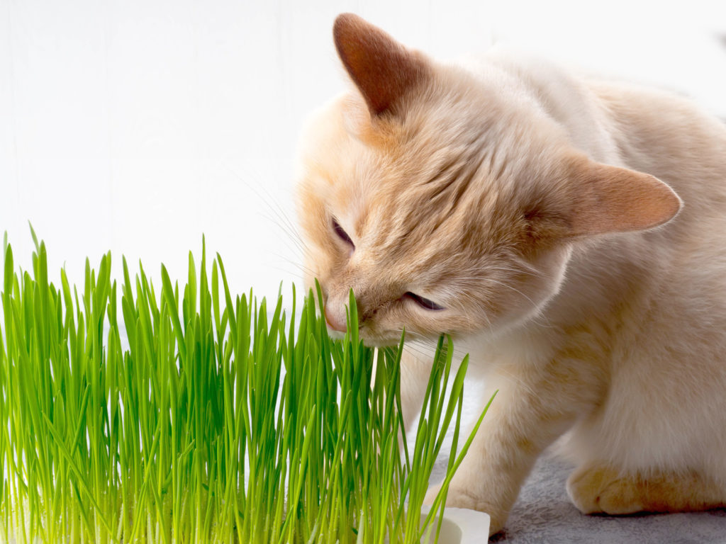 Chat qui mange de l'herbe à chats