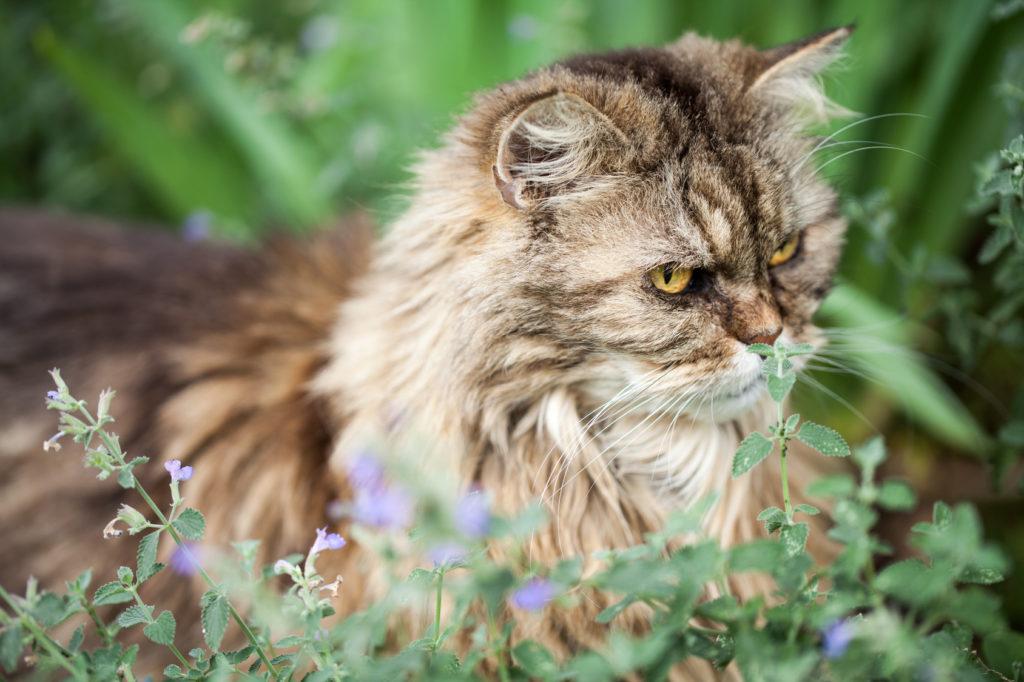Chat persan dans un parterre de menthe à chat
