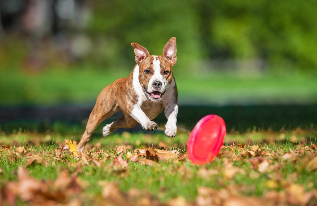 American Staffordshire terrier court pour attraper un frisbee rouge