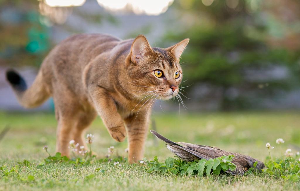 chat abyssin qui s'approche d'un oiseau qu'il a attrapé