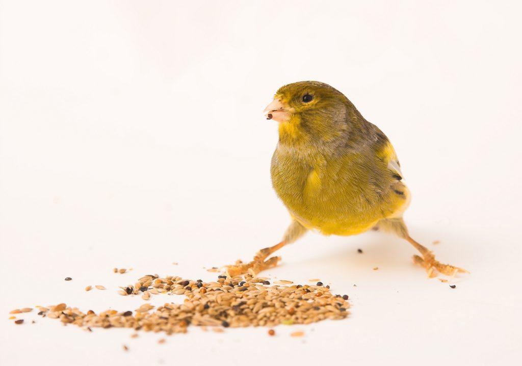 Canari debout devant des graines