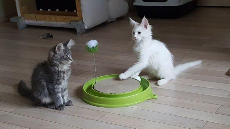 Deux chatons jouent avec un jouet 3 en 1 Catit Play-N-Scratch pour chat