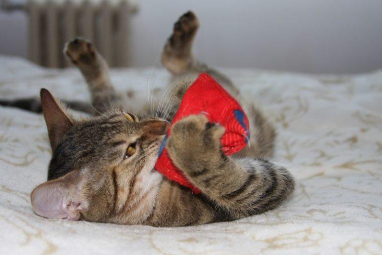 Chaton couché sur le dos sur un lit avec un jouet entre les pattes