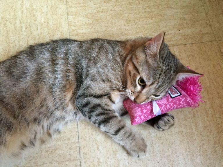 Chat couché sur le sol avec un coussin rose de forme allongé entre sa patte et sa tête