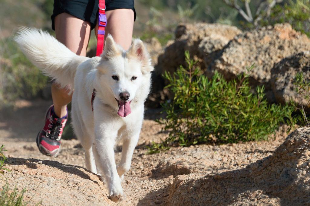 Un chien blanc et sont maître en train de pratiquer le canicross dans la montagne