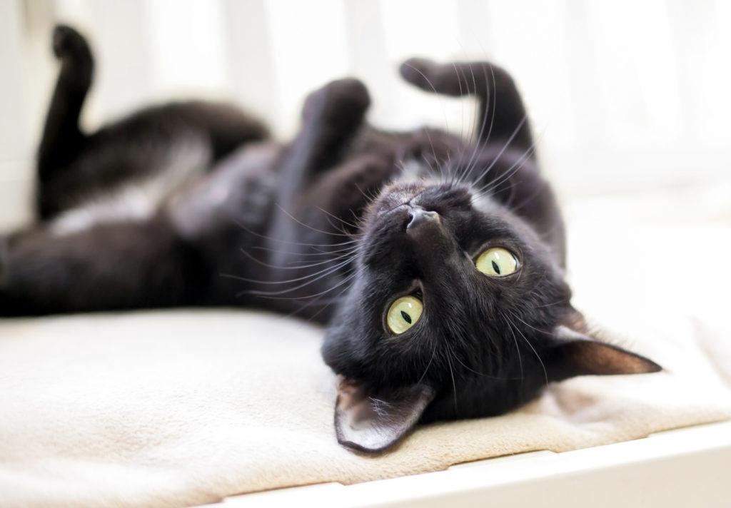 Chat noir couché sur le dos sur un lit