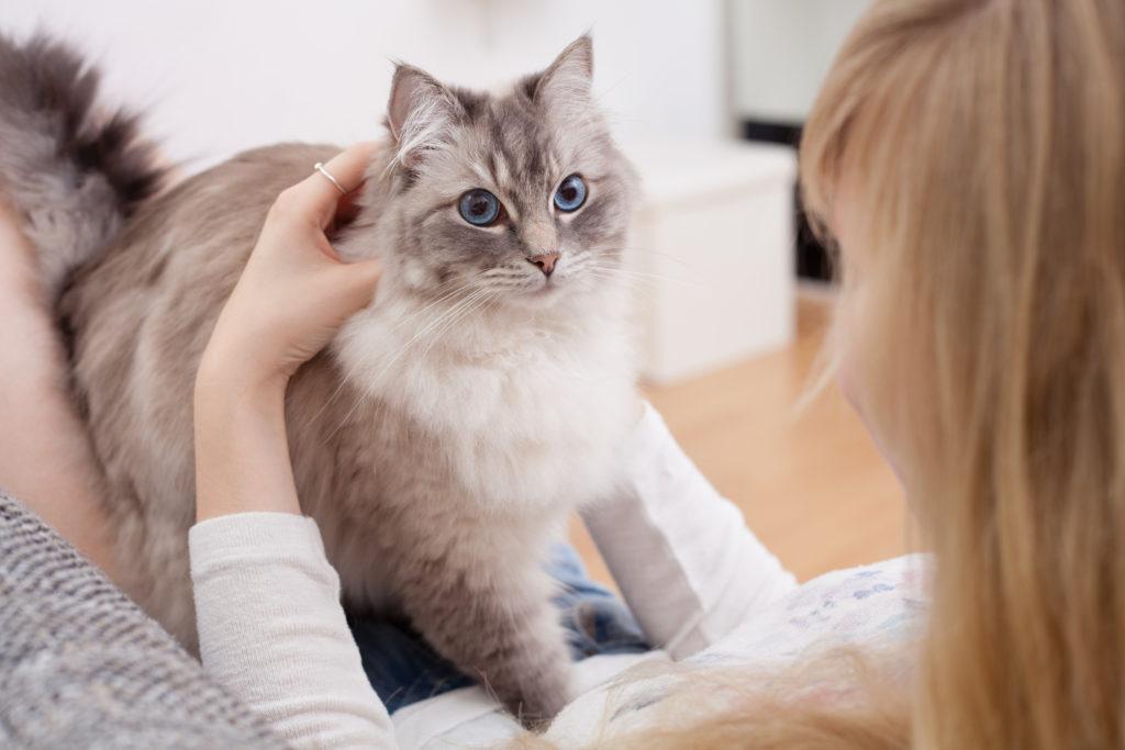 Chat ragdoll gris aux yeux bleux debout sur le genoux de sa maîtresse