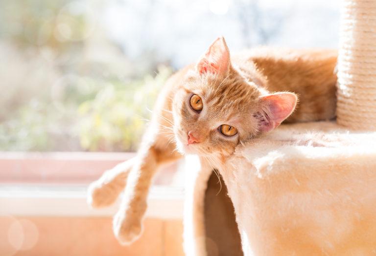 Chat roux couché sur le côté sur son arbre à chat, éclairé par le soleil de la fenêtre derrière lui