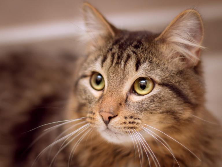 Portrait d'un chat marron qui regarde vers la gauche