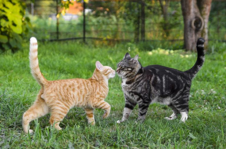 Un chat gris et un chat roux font connaissance dans le jardin