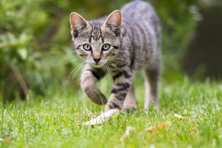 Portrait d'un chat gris en train de se promener dans le jardin