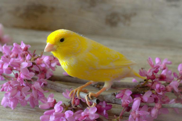 Canari jaune perché sur une branche de petites fleurs roses