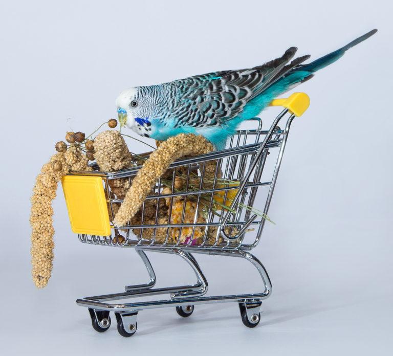 Perruche ondulée bleue dans un chariot de courses miniature en train de manger du millet pour oiseaux