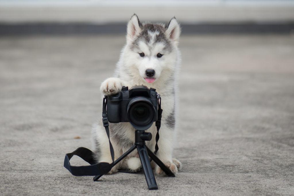 Husky assis derrière une appareil photo sur un petit trépied, la patte avant posée sur l'appareil