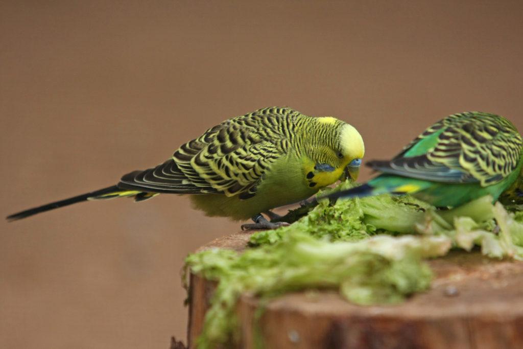 Deux perruches ondulées vertes mangent de la verdure