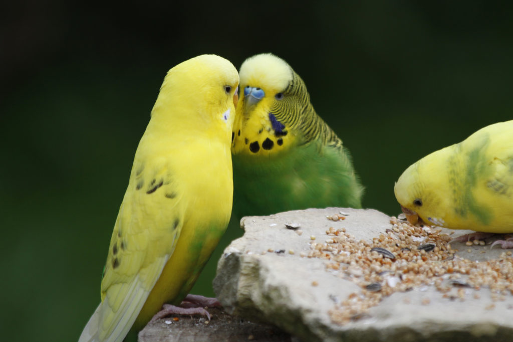3 perruches ondulées jaunes et vertes en train de manger des graines