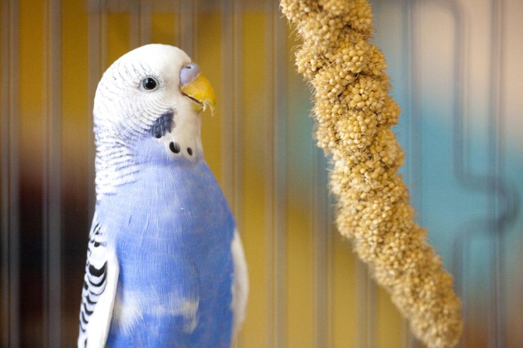 Perruche ondulée bleue et blanche mange du millet pour oiseaux