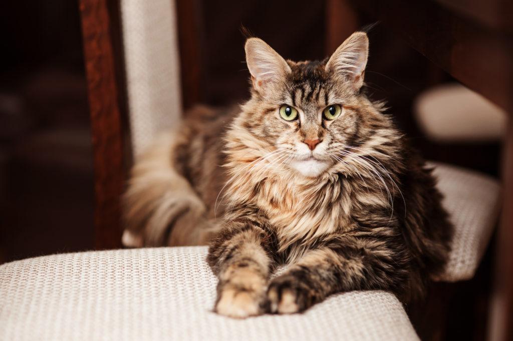 Portrait d'un chat Maine Coon allongé sur des coussins