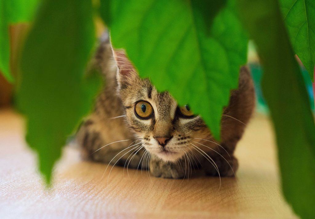 Chat baissé à ras du sol caché derrière des feuilles qui pendent d'une plante