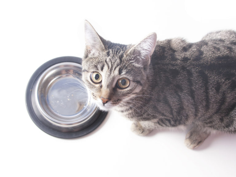 chat gris devant sa gamelle en inox vide, regarde l'objectif au-dessus de lui