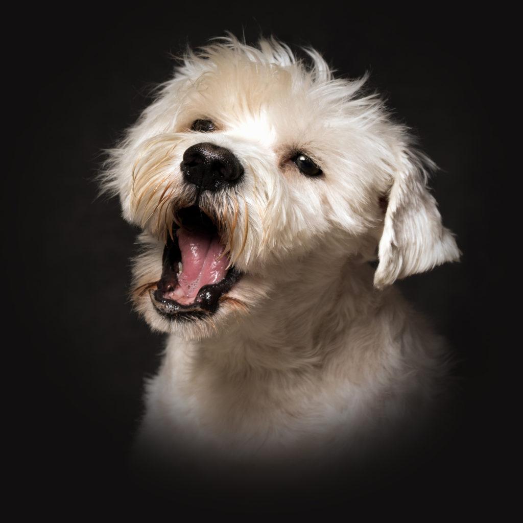 Portrait d'un chien Schnauzer blanc sur un fond noir