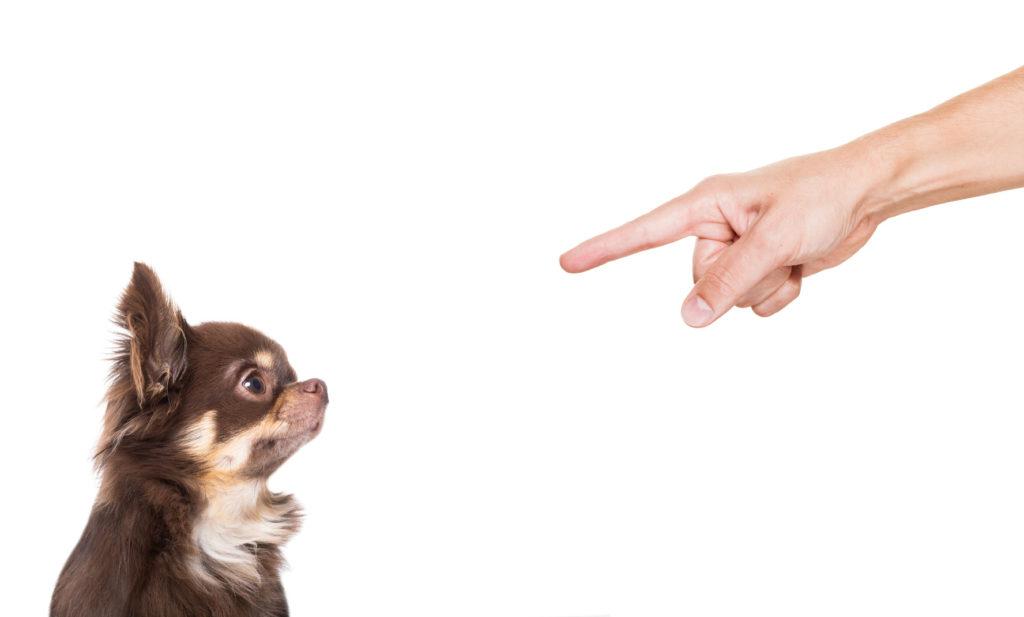 main d'un maître avec l'index pointé vers son chien, qui n'obéit pas sur fond blanc