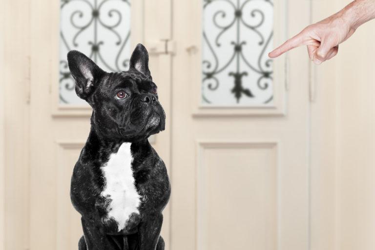 Main d'un maître avec l'index pointé vers son bulldog francais, un chien qui n'obéit pas