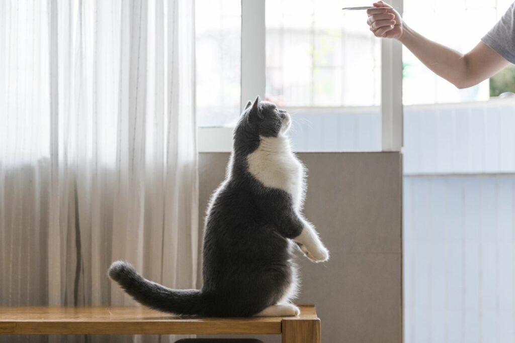 le clicker training pour chat est une discipline reconnue