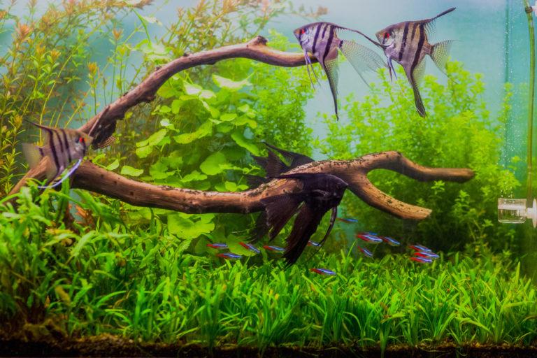 Un aquarium avec des plantes, des branches, et des poissons scalaires et néons bleus qui nagent